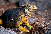 ECUADOR, GALAPAGOS ISLANDS Land Iguana; Conolophus subcristatus; iguana eating cactus fruit after rolling off thorns; on South Plazas Island