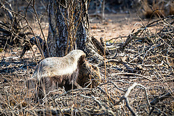 Honey Badger with his harvest of a leopard tortise.  This drama was in Kruger National Park.
