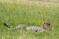 A Cheetah, Acinonyx jubatus jubatus, rests in grass in Maasai Mara National Reserve, Kenya