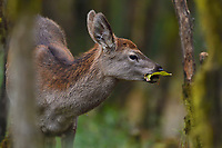 Red Deer, Cervus elaphus, feeding in the humid montane mixed forest, Laba He National Nature Reserve, Sichuan, China