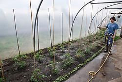 Trinity Organic Farm, Nottinghamshire - trainee gardener watering tomato plants in polytunnel