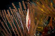 Kurodavolva wakayamensis  (Spindle cowry)