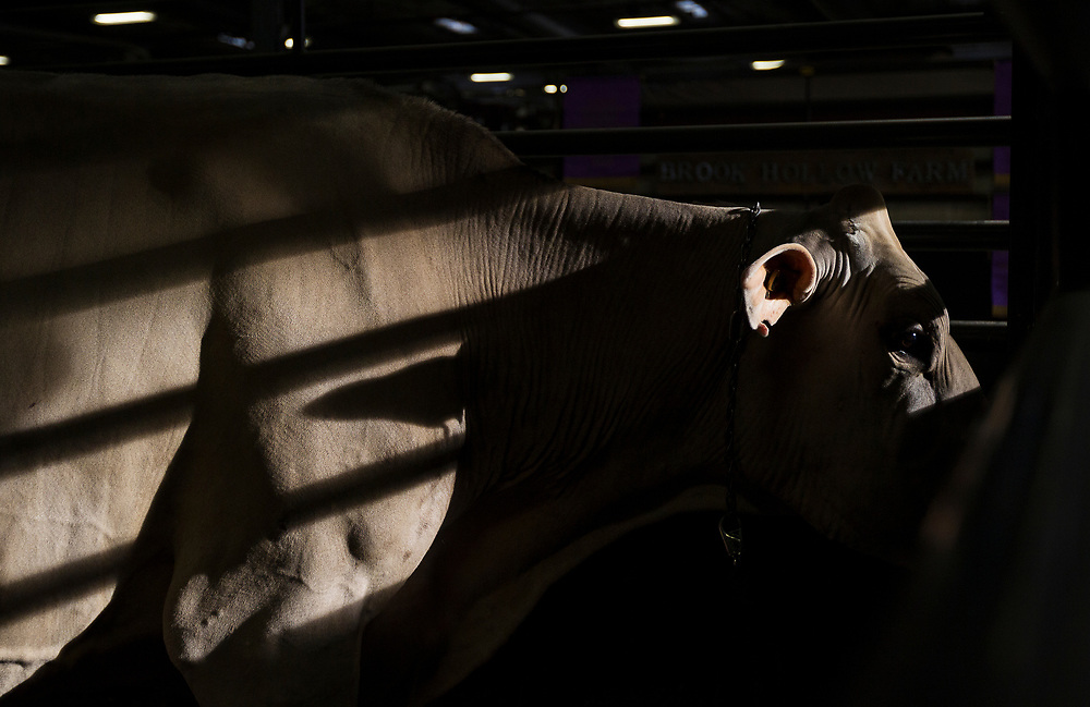 A Brown Swiss cow from Armbruster Brothers looks out from its pen during the World Dairy Expo in Madison, Wisconsin, U.S., October 3, 2018.  REUTERS/Ben Brewer