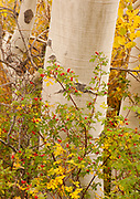 Rose Hips and Aspen along McGee Creek, Eastern Sierra Nevada, Inyo National Forest, California