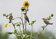 Three female housefinches gather on a prairie sunflower, Los Poblanos Open Space, Albuquerque, New Mexico