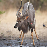 Nyala, antelope at a watering hole in Londolosi Game Reserve, indigenous to South Africa.