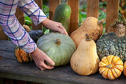 Harvesting squash and leaving them to ripen