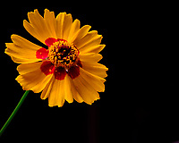 Plains Coreopsis Flower. Image taken with a Fuji X-T3 camera and 80 mm f/2.8 OIS macro lens (ISO 160, 80 mm, f/16, 1/4 sec).