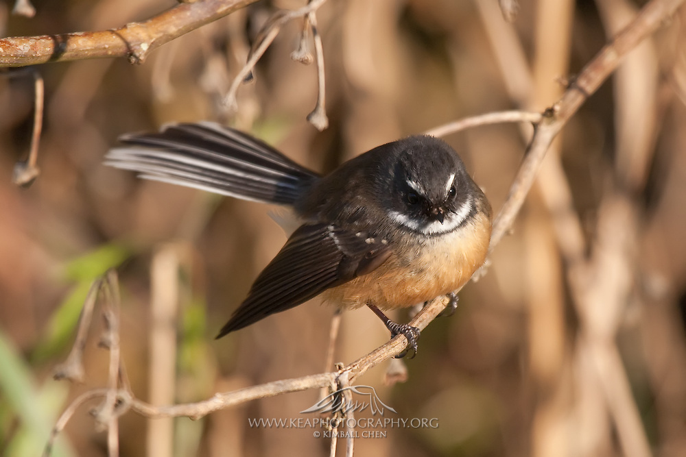 Fantail, Sandy Point Reserve, New Zealand