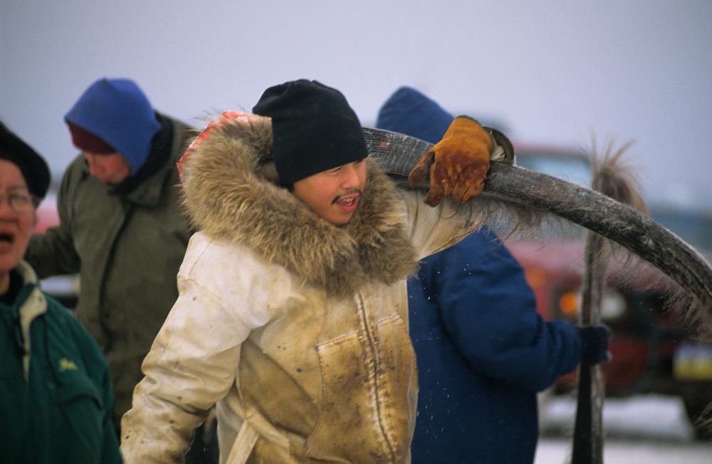 Alaska. Barrow. Native man carrying baleen away during whale butchering.
