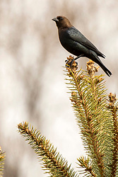 Brown-headed Cowbird (molothrus ater)
