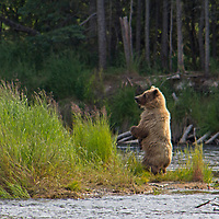 USA, Alaska, Katmai. Grizzly bear standing by river.f