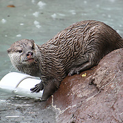 Asian small-clawed Otters of Vietnam Annual weigh in at ZSL London Zoo on 23 August 2018, London, UK.