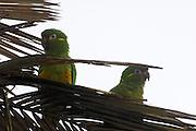 Cerro Tapichalaca Reserve - Monday, Jan 07 2008: Two Golden-plumed Parakeets (Leptosittaca branickii) perch on a palm tree in the Cerro Tapichalaca Reserve near Podocarpus National Park. (Photo by Peter Horrell / http://www.peterhorrell.com)