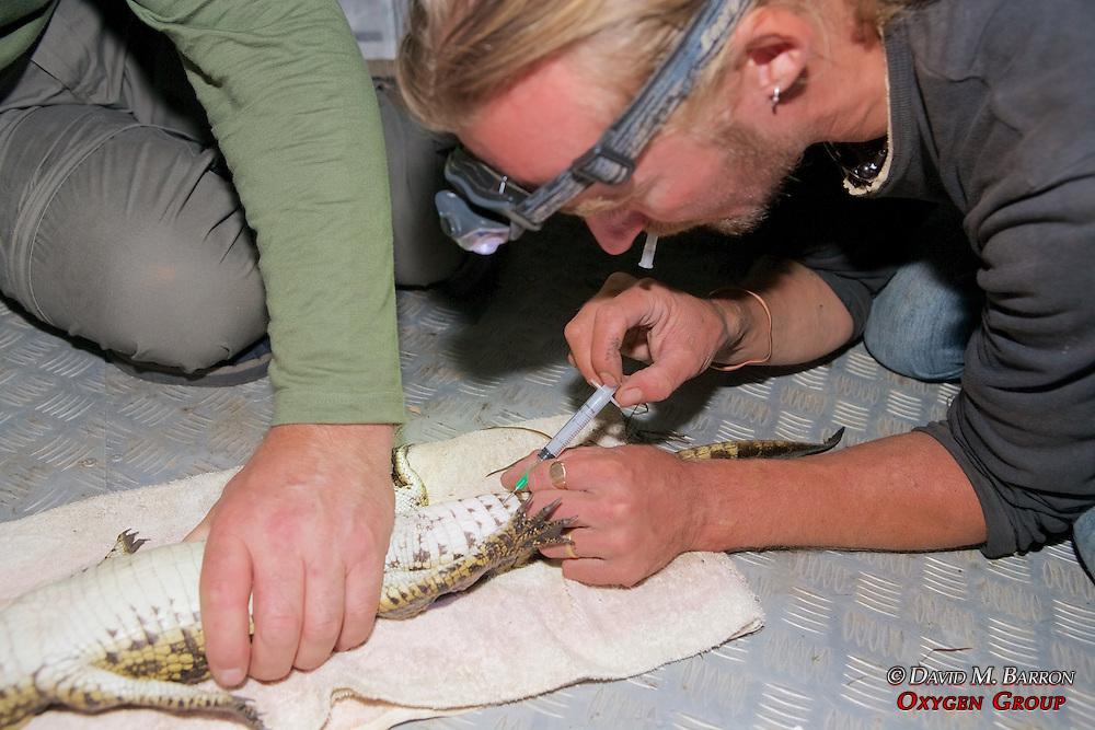 Taking Blood Sample From Crocodile