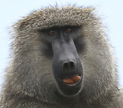 An olive baboon (Papio anubis) vocalises and displays its red tongue while sitting in a low tree watches members of its group. Serengeti National Park, Tanzania.