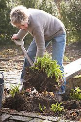 Dividing hemerocallis. Carol digging up hemerocallis ready for division