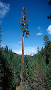 The Henry Tree, near Boonville, California, is a first growth coastal redwood and rises to some 320 feet.