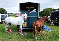 © Licensed to London News Pictures.26/08/15<br /> Egton, UK. <br /> <br /> Two horses are tethered to a horsebox at the 126th Egton Show in North Yorkshire. <br /> <br /> Egton is one of the largest village shows in the country and is run by a band of voluntary helpers. <br /> <br /> This year the event featured wrought iron and farrier displays, a farmers market, plus horse, cattle, sheep, goat, ferret, fur and feather classes. There was also bee keeping, produce and handicrafts on display.<br /> <br /> Photo credit : Ian Forsyth/LNP
