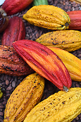 Cocoa pods on display at The Chocolate Show, at Olympia in Kensington, London.  Picture date: Friday October 13th, 2017. Photo credit should read: Matt Crossick/ EMPICS Entertainment.