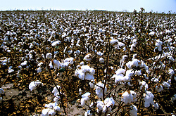 Stock photo of a field of cotton ready to be harvested