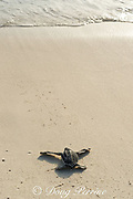 leatherback sea turtle hatchling, Dermochelys coriacea ( Critically Endangered species ), crawls toward the sea after emerging from nest, Playa Colita, Pedernales,  Dominican Republic ( Caribbean Sea )