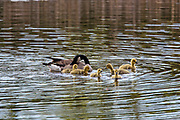 Canada geese and newborn goslings swim and feed on a small pond in Wisconsin