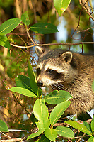 Raccoon (Procyon lotor) climbing tree, Arthur R Marshall National Wildlife Reserve - Loxahatchee, Florida, USA.    Photo: Peter Llewellyn