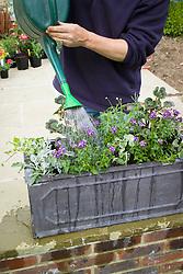 Planting up a trough - watering. Senecio cineraria, Nemesia Bluebird, Pelargonium and Helichrysum petiolare and Argyranthemum frutescens (Marguerite Daisy)