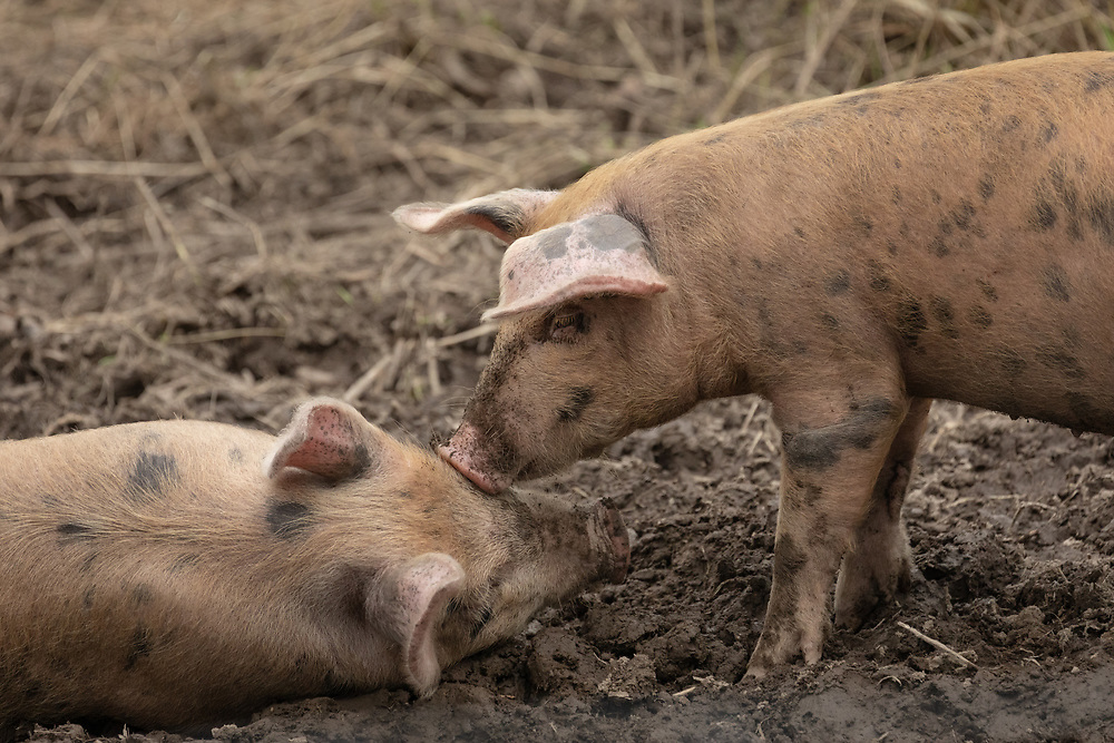 Pigs kissing in the summer mud.