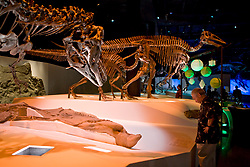 Stock photo of Gorgosaurus with duck-bill mummy, Edmontosaurus adult and juvenile in the<br /> background at the new Paleontology Hall at the Houston Museum of Natural Science