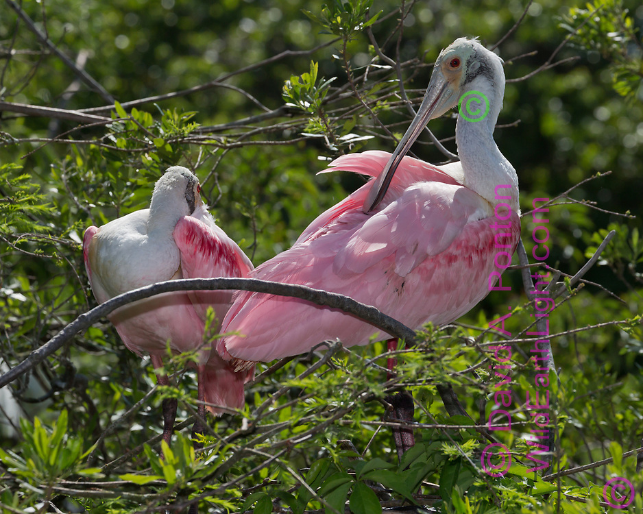 Roseate spoonbill mated pair preening feathers at site of new nest construction, © David A. Ponton