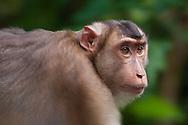 A female southern pig-tailed macaque (Macaca nemestrina) at the Sepilok Orangutan Rehabilitation Center, Sabah, Malaysian Borneo.