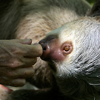 Central America, Latin America, Costa Rica, Golfo Dulce, Cana Blanca Wildlife Sanctuary. Hoffman's Two-Toed Sloth (Chloepus Hoffmani) and human touch.