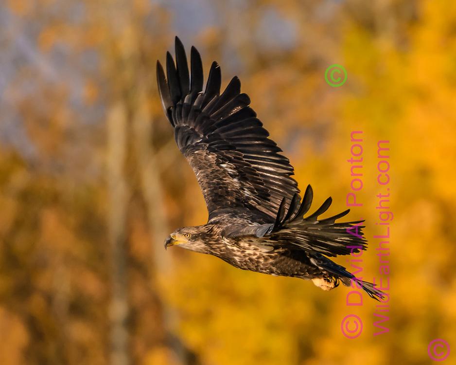 Juvenile bald eagle flies with golden aspen grove in background, Grand Teton National Park, © David A. Ponton
