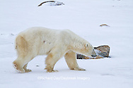 01874-12611 Polar bear (Ursus maritimus) walking in winter, Churchill Wildlife Management Area, Churchill, MB Canada
