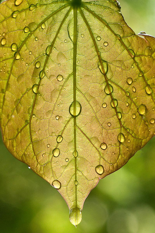 Drop Leaf