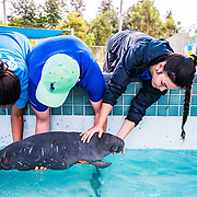 Veterinarian Lesly Cabrias and scientists Kevin Perez and Monica Cruz return an abandoned manatee calf to her pool after treatment at the Manatee Conservation Center in Puerto Rico.