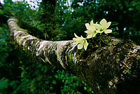 A Dendrobium prasinum orchid blooms on a tree trunk in a rain forest.