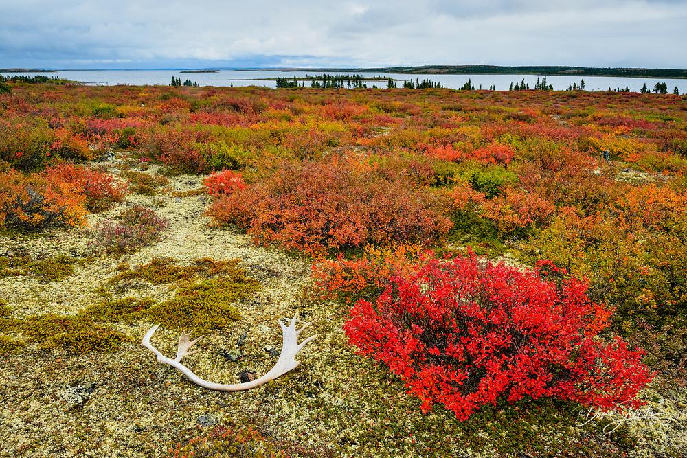 Tundra plants with autumn colour and fallen caribou antler, Ennadai Lake, Caribou Point, Nunavut, Canada