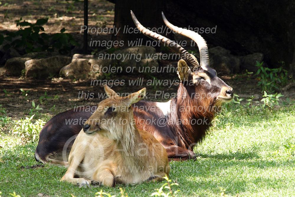 24 July 2005.  Cuvier Gazelle.<br /> Memphis Zoo.  Memphis TN (Photo by Alan Look)