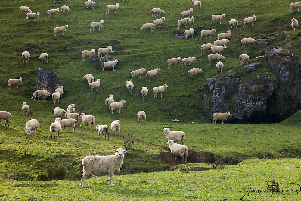 Rolling pastures are an endless carpet of green; they cover the landscape for grazing sheep and cows, sometimes right up to the sea, North Island, New Zealand
