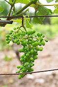 Unripe grapes. Syrah. Chateau de Jau, Cases de Pene, Roussillon, France
