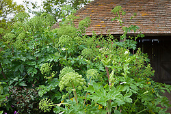 Angelica archangelica growing in the oast garden