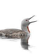 UK Common Birds