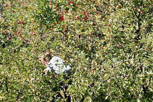 Nederland, Malden, 6-10-2018Appeloogst in boomgaard de Elshof met activiteiten voor de kleintjes zoals sap maken zelf plukken en kunstschilderen.Foto: Flip Franssen