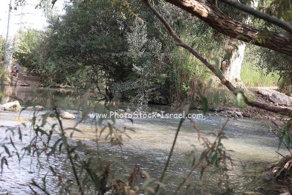 Reeds on the banks of the Jordan River