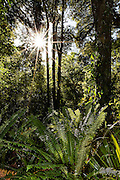 Sunstar shining through the dense Southland forest, at Otatara Scenic Reserve, Invercargill, New Zealand