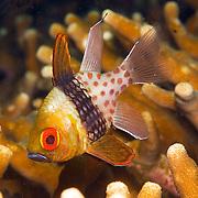 Pajama Cardinalfish shelter in branching corals. Picture taken Fak Fak, West Papua, Indonesia.