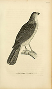 Accipiter Torquatus - Collared Sparrow Hawk from volume XIII (Aves) Part 2, of 'General Zoology or Systematic Natural History' by British naturalist George Shaw (1751-1813). Griffith, Mrs., engraver. Heath, Charles, 1785-1848, engraver. Stephens, James Francis, 1792-1853 Published in London in 1825 by G. Kearsley